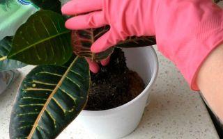 Кротон: уход в домашних условиях выращивание, размножение, пересадка кротона — вмоменте