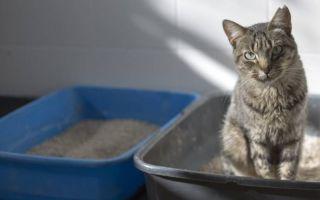 Как приучить взрослого кота к лотку: этапы, выбор лотка